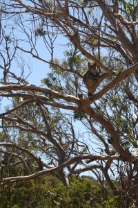 It's not everyday this Jersey-DC-Nola guy sees koalas in the wild - but this is the real deal, and apparently a very rare siting Australia.  We saw a few dozen in Cape Otway National Park.